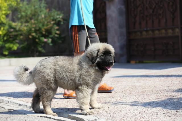 Собака, щенки кавказской овчарки - 4