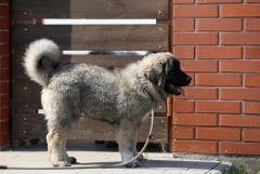 Собака, щенки кавказской овчарки - Изображение 5