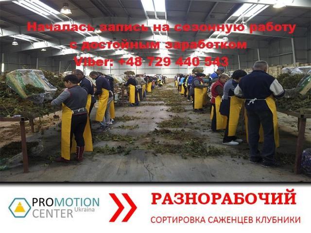 Сортировка саженцев клубники - 1