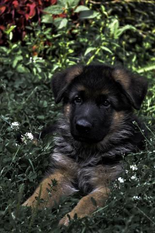 German Shepherd (Немецкая овчарка) - 1