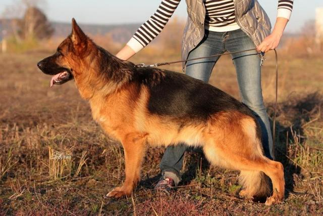 German Shepherd (Немецкая овчарка) - 2