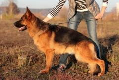 German Shepherd (Немецкая овчарка) - Изображение 2