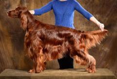 Red Irish setter. Puppies. - Изображение 1
