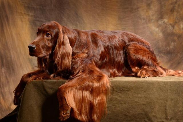 Red Irish setter. Puppies. - 2