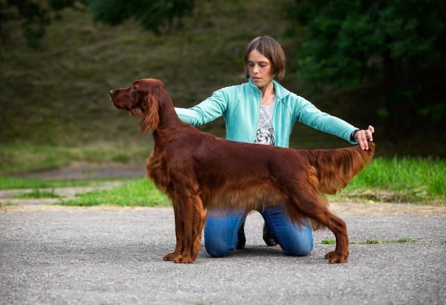 Red Irish setter. Puppies. - 4