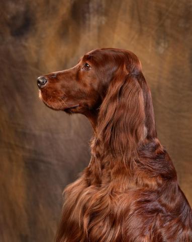 Red Irish setter. Puppies. - 5